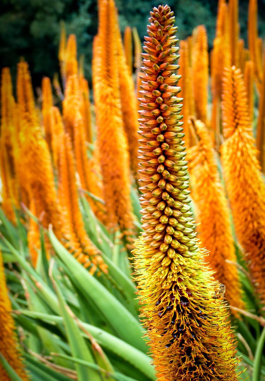 Blooming Aloe by jezebel144