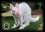 Achromia the albino kangaroo poseable art doll!