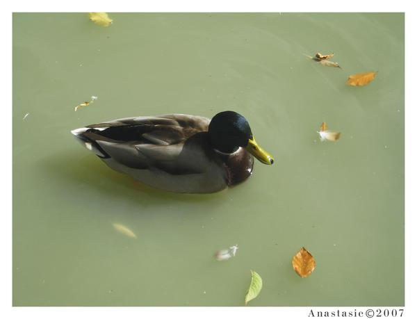 Duck by AnastasieLys