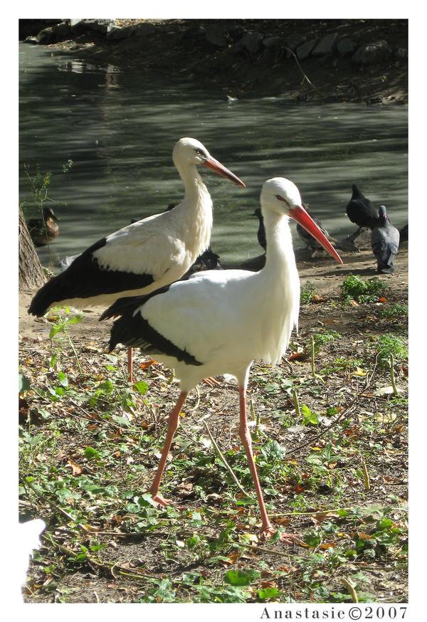 Stork ciconia ciconia by AnastasieLys