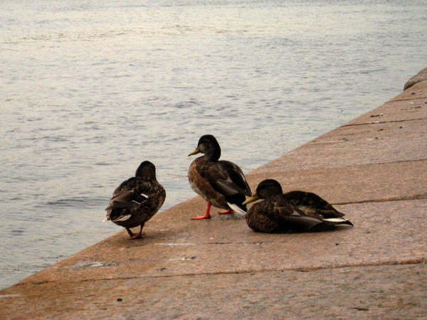 Ducks on the quay by AnastasieLys