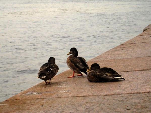 Ducks on the quay by AnastasieLys
