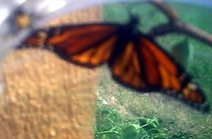 monarch 1 by KenshinKyo