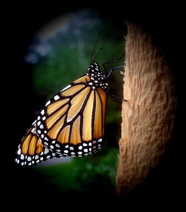 monarch 4 by KenshinKyo