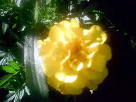 marigold by KenshinKyo