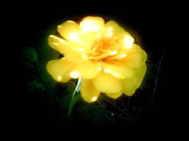 marigold 2 by KenshinKyo