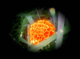 marigold 3 by KenshinKyo