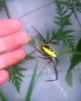 yellow spider by KenshinKyo