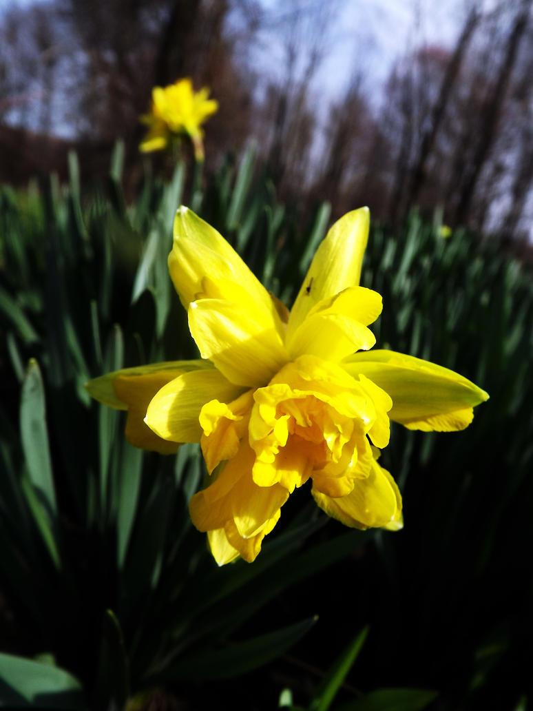 wild daffodil by KenshinKyo