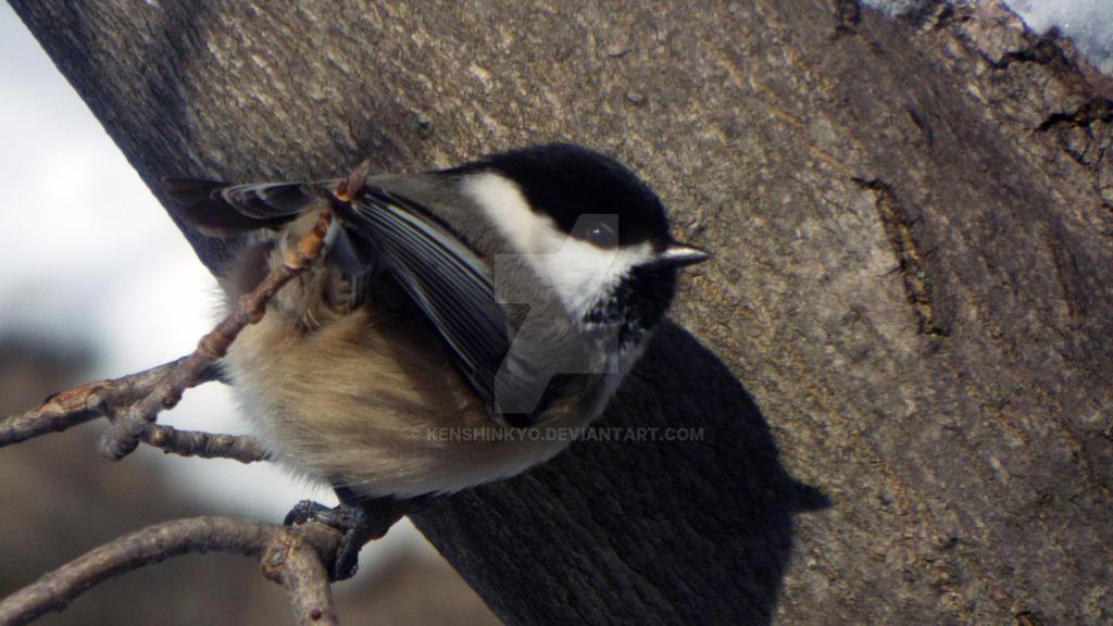 Black-capped chickadee by KenshinKyo