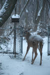 This is a Big Buck in the yard
