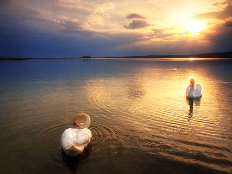 Twilight swans II.