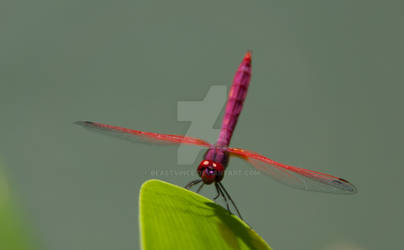 Red Dragonfly 02