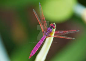 Red Dragonfly 03