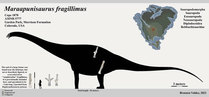 Maraapunisaurus fragillimus Skeletal