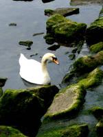 Swan Stock 02 by Aimi-Stock
