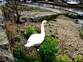 Swan Stock 03 by Aimi-Stock