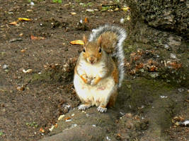 Squirrel in St. James park