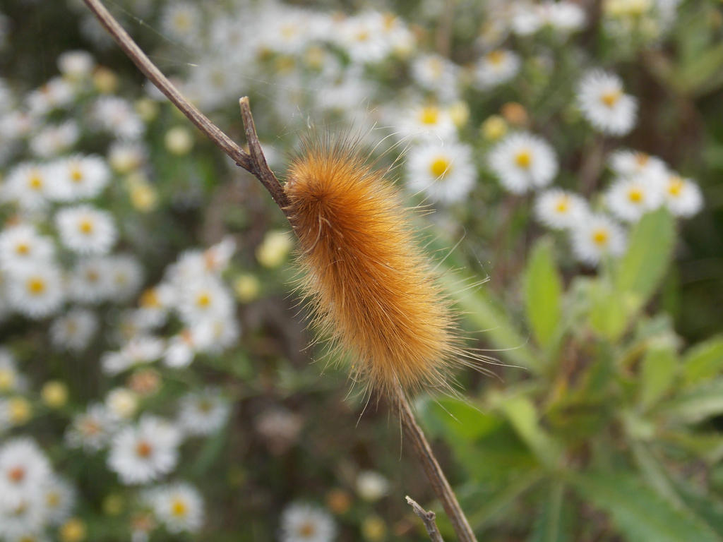 Virginia Tiger Moth caterpillar (Yellow bear) by ...