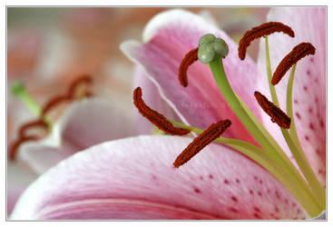 Pink Euphoria II by IllusiveSpatula