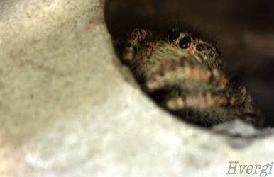 Salticidae spider by Hvergi