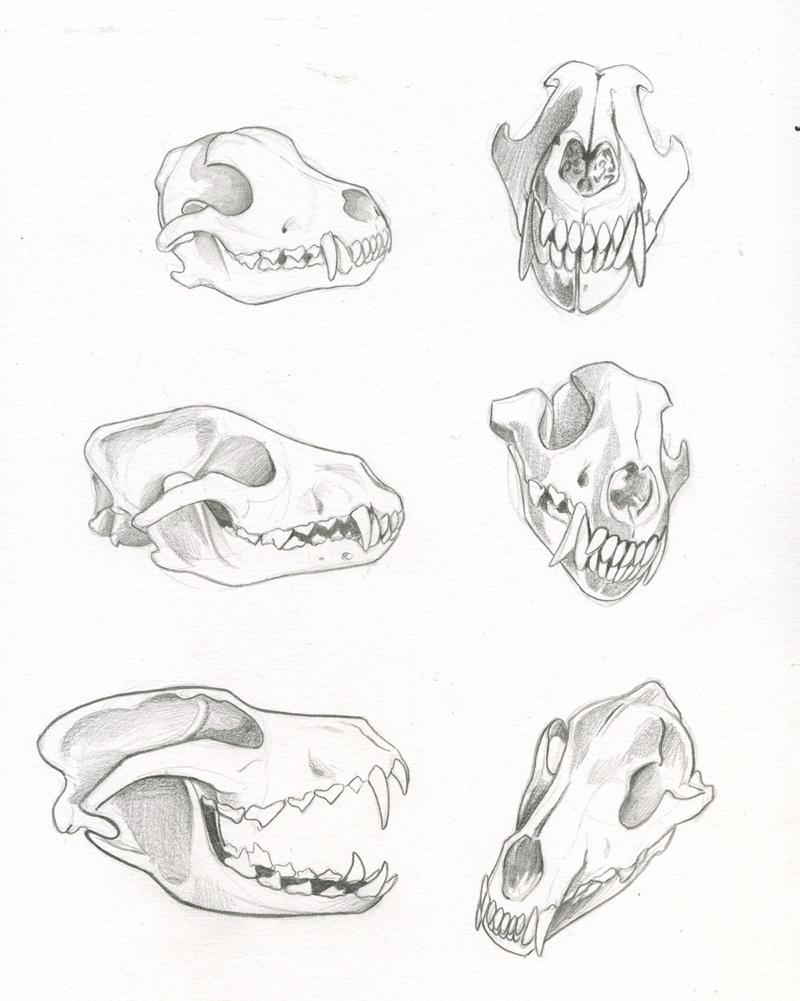 Wolf Skull Studies by kiraxlee