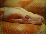 Orange Devil by Sapphiresenthiss