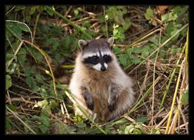 Rocky Raccoon by ernieleo