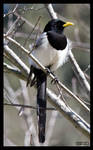 Yellow-billed Magpie II