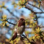 Sir Bird of Hum