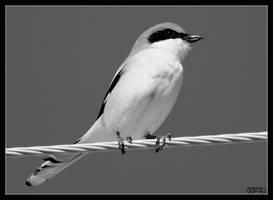Butcher Bird II by ernieleo