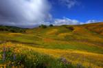 Calfornia Wildflowers