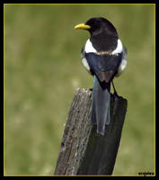 Yellow-Billed Magpie by ernieleo