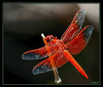 Red Dragonfly by ernieleo