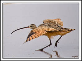 Long-Billed Curlew by ernieleo