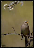 White-crowned Sparrow by ernieleo