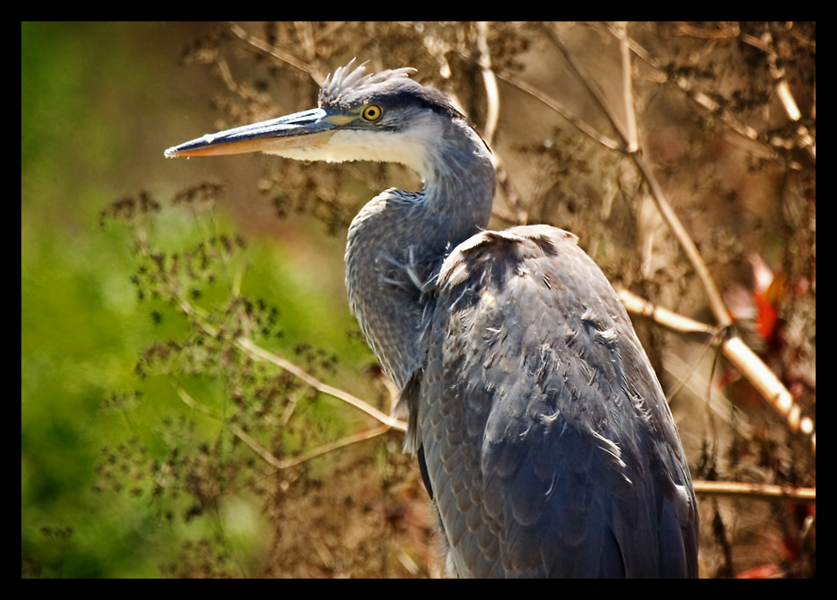 Great Blue Heron by ernieleo