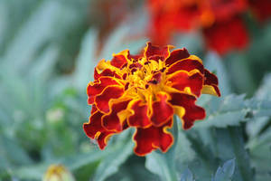 Vibrant Marigold 3 by hollygalah