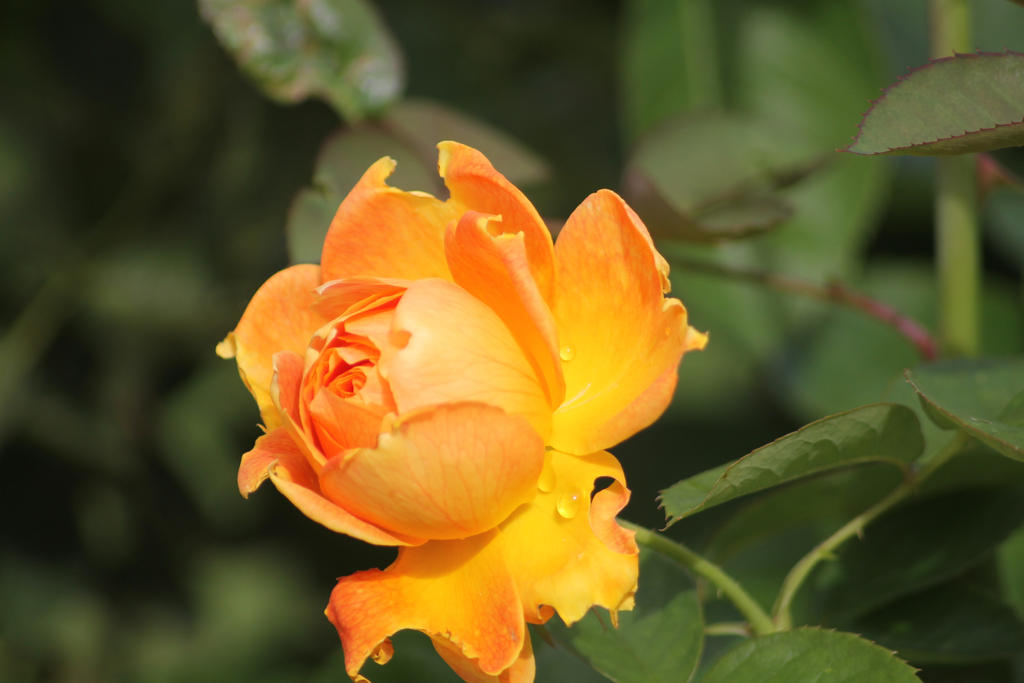 rose 6 by hollygalah