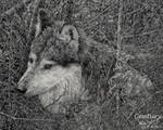 Wolf in the Brush by CenturyWild