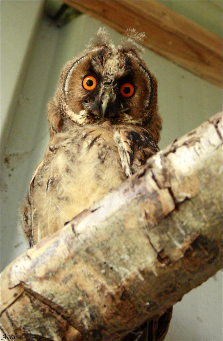 Galerie d'Avril. (NEWS p20 !!) - Page 11 Long_eared_owl_1_by_avrilxace-d7yx657