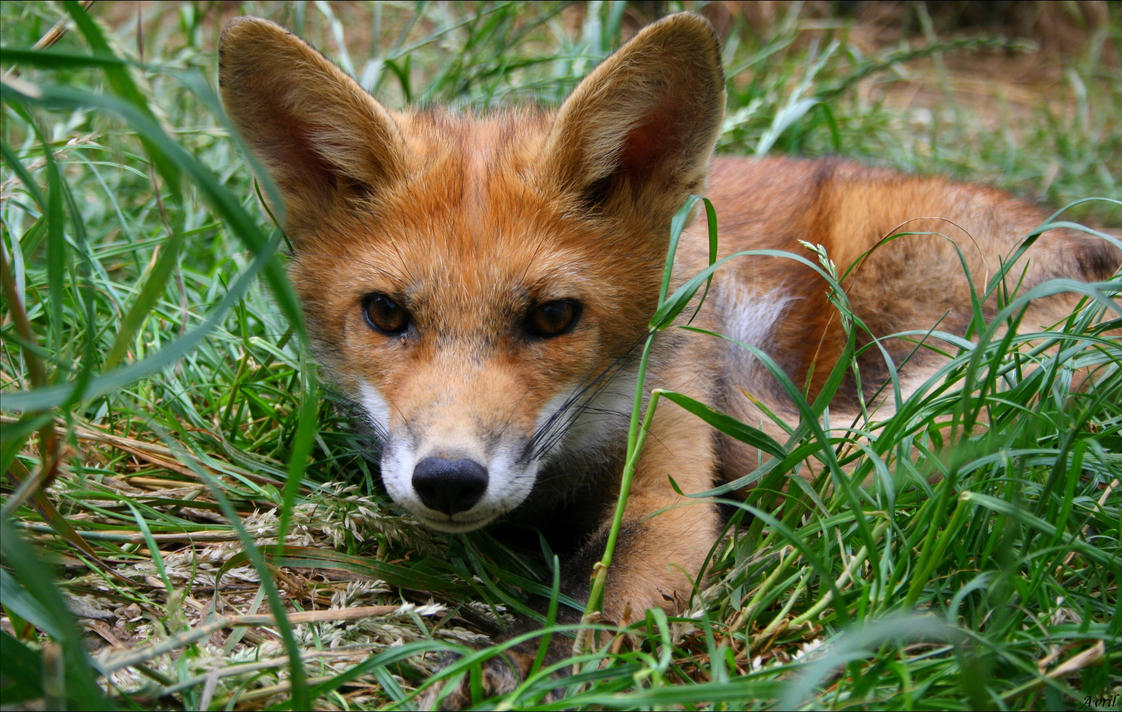 Galerie d'Avril. (NEWS p20 !!) - Page 11 Lazy_baby_fox_portrait_by_avrilxace-d7zb0yd
