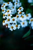 daisies. by nslhn
