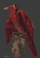 C. Rubricus by redwattlebird