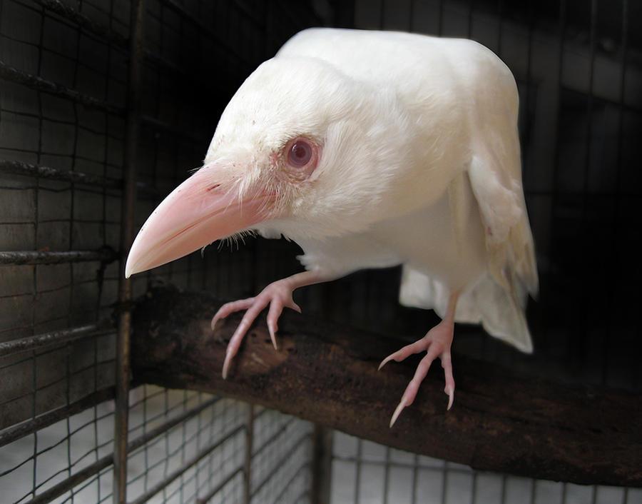 White Crow by redwattlebird