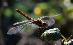 Dragonfly 5 by YunaAnnPhotography