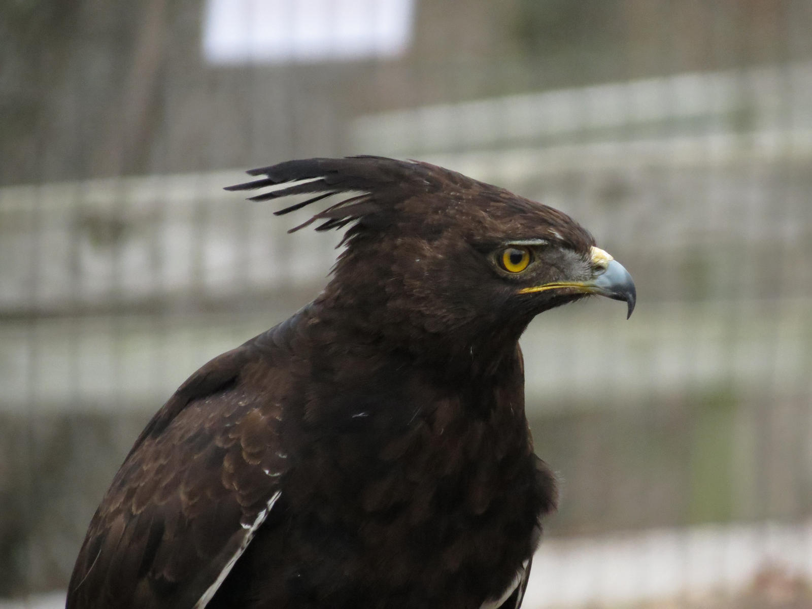 Long-crested Eagle (Lophaetus occipitalis) » Planet of Birds