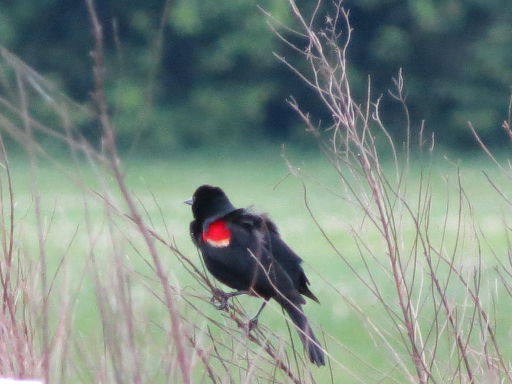 Red-Winged Blackbird by Cryostar1177