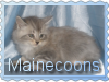 Mainecoons by badsworth1