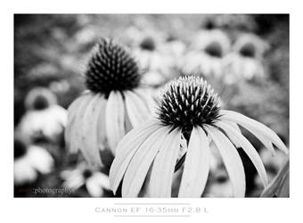 Cone Flower Bokeh by istarlome